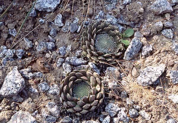 orostachis spinosa