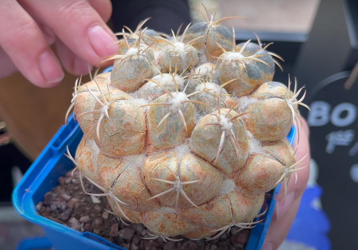 Araña-Roja-Cactus-Desert-City